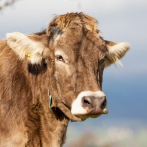 Portrait cow. Cow Farm. Close Up Of Cows Head Grazing At Field